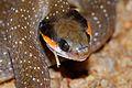 Herald Snake (Crotaphopeltis hotamboeia) (7034759953).jpg