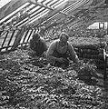 Het Westland. Tomatenplanten, gereed om uitgeplant te worden. Deze worden in bak, Bestanddeelnr 901-7726.jpg