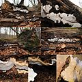 Heterobasidion annosum (GB= Root Rot, Syn. Annosum Root Rot, D= Wurzelschwamm, F= Polypore du pin, NL= Dennenmoorder) cream spores and causes white root rot, at Ede. Note that thes ones grow on fallen beech trees. That - panoramio.jpg