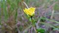 Hibbertia aspera flower (15850122528).jpg