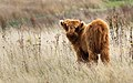 Highland cattle calf on field on Venø 2 2014-09-28.jpg