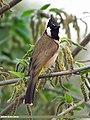 Himalayan Bulbul (Aves Tennantus) (15893340245).jpg