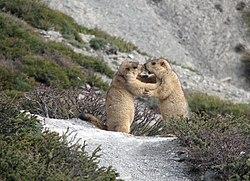 Marmota himalayana à Ganda La, Ladakh