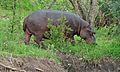 Hippo (Hippopotamus amphibius) (6014460297).jpg