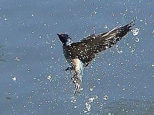 Pacific swallow - Image: Hirundo tahitica in flight