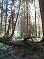 Hoh Rainforest - Olympic National Park - Washington State (9780374093).jpg