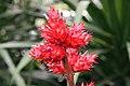 Hohenbergia stellata 4zz.jpg