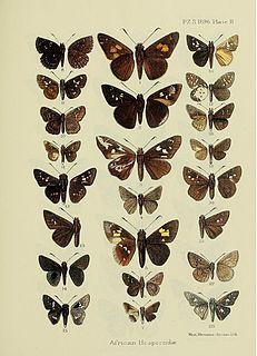 <i>Gorgyra subfacatus</i> species of insect
