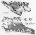 Holotype of Brachydiastematherium.png