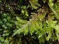Homalothecium sericeum 105797924.jpg