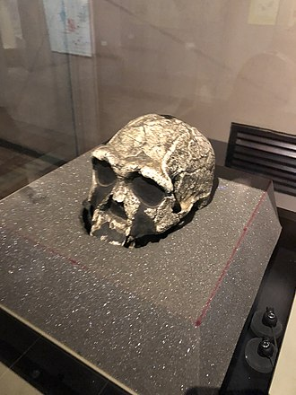 KNM ER 3733 - Homo erectus KNM ER 3733 actual skull not a cast