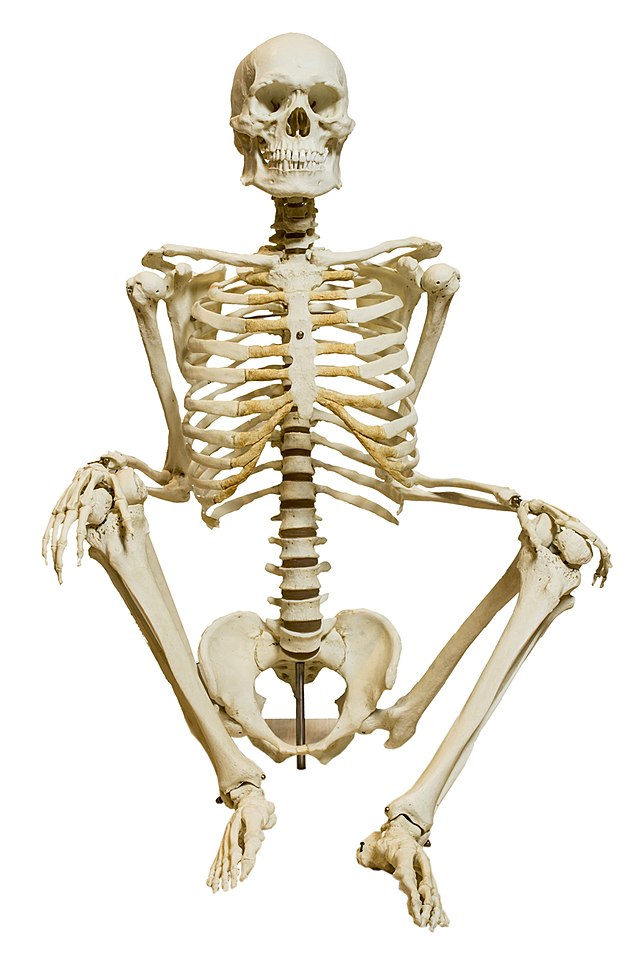 Esqueleto humano - Wikiwand