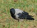 Hooded Crow-Mindaugas Urbonas-8.jpg