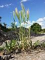 Hordeum murinum subsp. murinum sl5.jpg