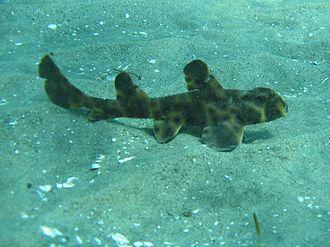 Horn shark - Unlike the adults, juvenile horn sharks prefer a flat, sandy habitat.