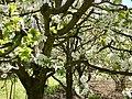 Huerta Primavera cerezos.jpg