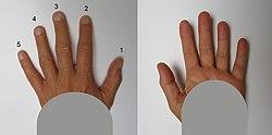 Menschliche Finger beidseitig 2.jpg