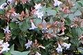 Hummingbird hawkmoth (BG) (32830717002).jpg