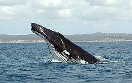Humpback near Hervey Bay, Queensland