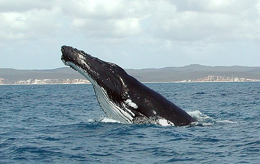 Humpback Whale fg1
