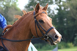 Snaffle bit - A horse wearing an English bridle with a snaffle bit, notice it lacks a shank