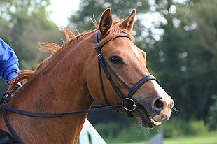 Hunt bridle head.jpg
