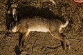 Hunting hare Lepus nigricollis MG 5312 13.jpg