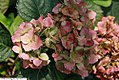 Hydrangea macrophylla Hamburg 1zz.jpg