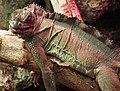 Hydrosaurus pustulatus, Bydgoszcz ZOO.jpg
