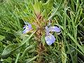 Hygrophila auriculata 07.JPG