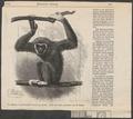 Hylobates lar - 1886 - Print - Iconographia Zoologica - Special Collections University of Amsterdam - UBA01 IZ19800099.tif