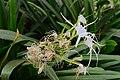 Hymenocallis littoralis in the Weyler's Square 05.jpg