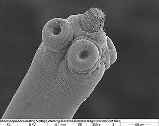 <i>Hymenolepis microstoma</i> species of worm