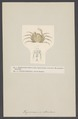 Hymenosoma orbicularis - - Print - Iconographia Zoologica - Special Collections University of Amsterdam - UBAINV0274 006 01 0015.tif