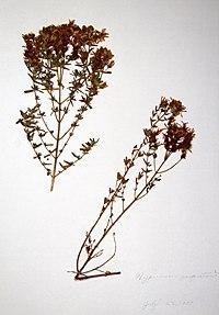 Hypericum perforatum ssp. perforatum BW-1979-0723-0318.jpg