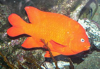 Garibaldi (fish) - Image: Hypsypops rubicundus adult