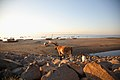 ILRI, Stevie Mann - Goats scavenge a beach at Maputo, Mozambique.jpg