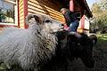 Icelandic Sheep, Vashon, WA.jpg