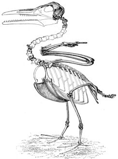 Skeletal restoration based on the holotype of I. victor (now I. dispar) by O.C. Marsh.
