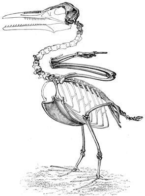 Ichthyornis - Zeichnung von Othniel Charles Marsh