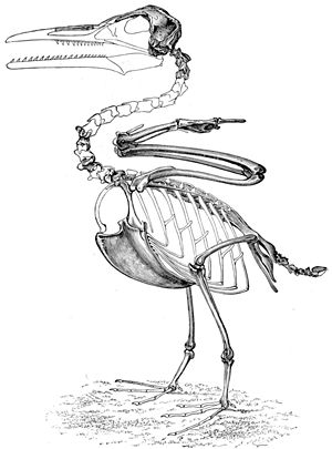 Ichthyornis - Skeletal restoration based on the holotype of I. victor (now I. dispar) by O.C. Marsh.