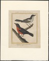 Icterus - 1796-1799 - Print - Iconographia Zoologica - Special Collections University of Amsterdam - UBA01 IZAA100185.tif