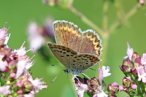 Plebejus idas - Image: Idas blue (Plebejus idas baldur) female Bulgaria