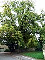 Iffley church horse chestnut tree - geograph.org.uk - 735624.jpg