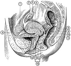 Illu female pelvis.jpg