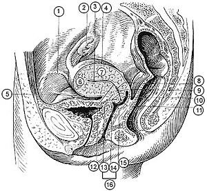 Fundus (uterus) - Image: Illu female pelvis