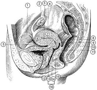 Uterine horns - Image: Illu female pelvis