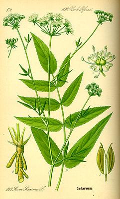 Zuckerwurzel (Sium sisarum)