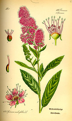 Spiraea salicifolia, Illustration