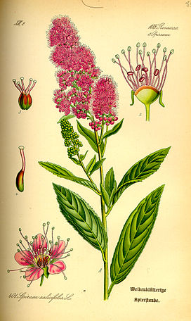 Illustration Spiraea salicifolia0.jpg
